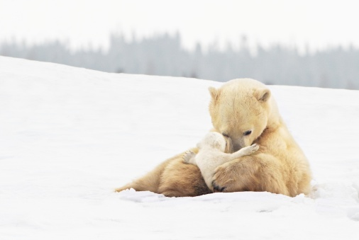 Churchill - Manitoba「polar bear sow (ursus maritimus) holds her young cub tenderly in her paws at wapusk national park」:スマホ壁紙(16)