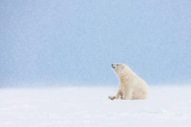 Polar bear cub in falling snow.:スマホ壁紙(壁紙.com)