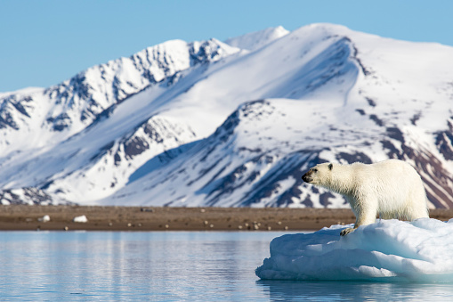 Polar Bear「Polar bear (Ursus maritimus) on pack ice, Spitsbergen, Svalbard and Jan Mayen, Norway」:スマホ壁紙(12)
