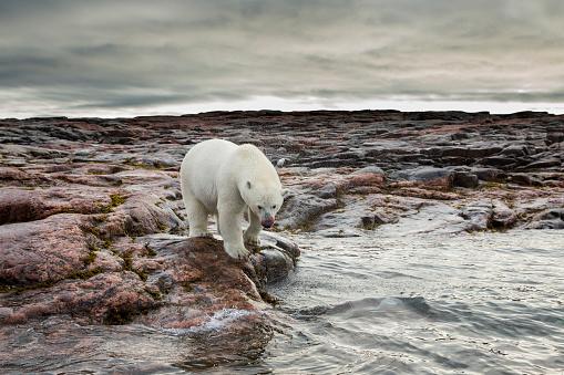 Polar Bear「Polar Bear, Nunavut Territory, Canada」:スマホ壁紙(18)