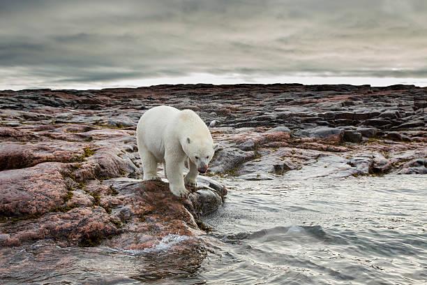 Polar Bear, Nunavut Territory, Canada:スマホ壁紙(壁紙.com)