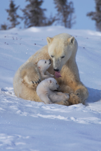 Polar Bear「Polar bear (Ursus maritimus) mother with two cubs on snow」:スマホ壁紙(0)