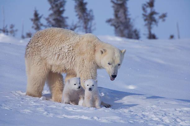 Polar bear (Ursus maritimus) mother with two cubs on snow:スマホ壁紙(壁紙.com)