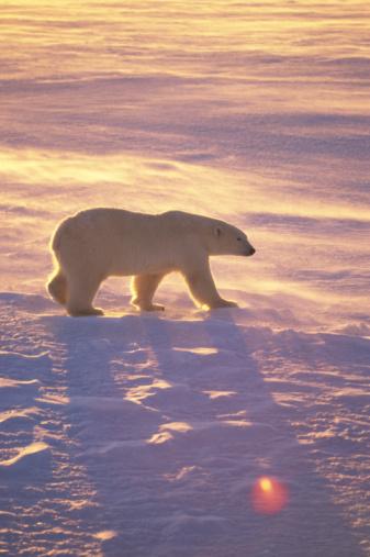 Polar Bear「Polar bear prowling in snow」:スマホ壁紙(17)