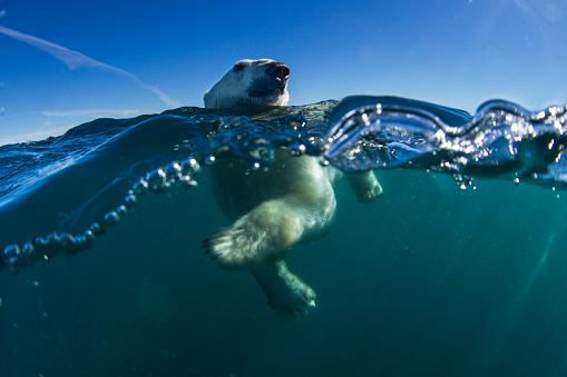 Polar Bear「Polar Bear, Hudson Bay, Nunavut, Canada」:スマホ壁紙(9)