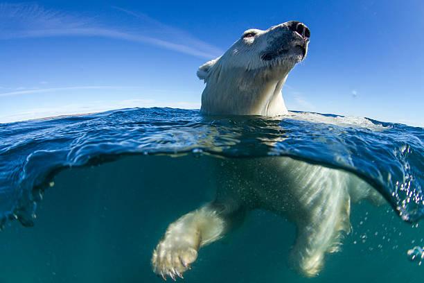 Polar Bear, Hudson Bay, Nunavut, Canada:スマホ壁紙(壁紙.com)