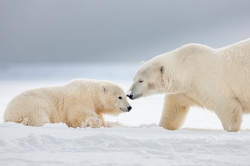 Arctic National Wildlife Refuge「Polar bear mother with cub」:スマホ壁紙(18)
