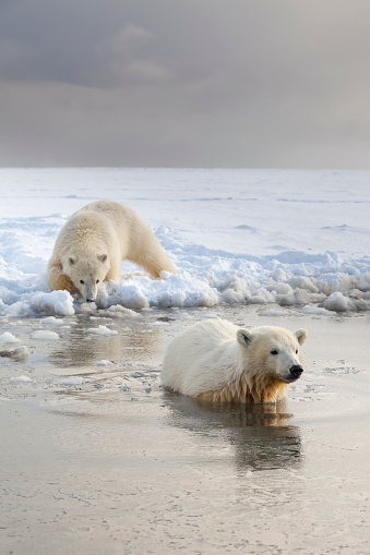 Arctic National Wildlife Refuge「Polar bear cubs wade into Beaufort Sea」:スマホ壁紙(13)