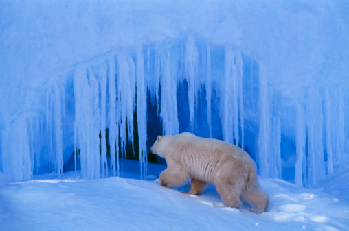 Polar Bear「Polar bear (Ursus maritimus) entering ice cave」:スマホ壁紙(19)