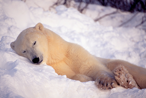 Bear Cub「Polar Bear Snoozing in the Snow」:スマホ壁紙(17)