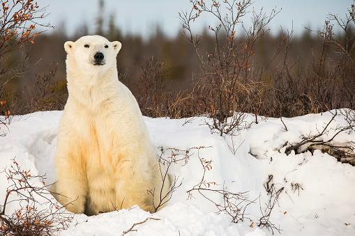 Polar Bear「Polar bear (ursus maritimus) sitting in the snow」:スマホ壁紙(2)
