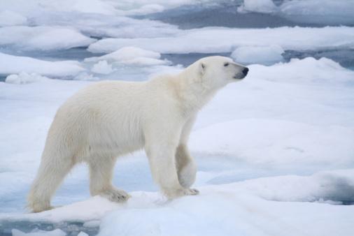 Pack Ice「Polar Bear」:スマホ壁紙(11)