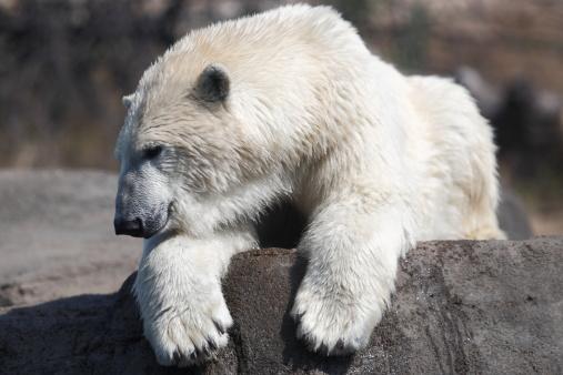 一匹「北極グマ」:スマホ壁紙(15)