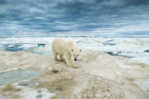 Polar Bear「Polar Bear on Hudson Bay Sea Ice, Nunavut Territory, Canada」:スマホ壁紙(8)