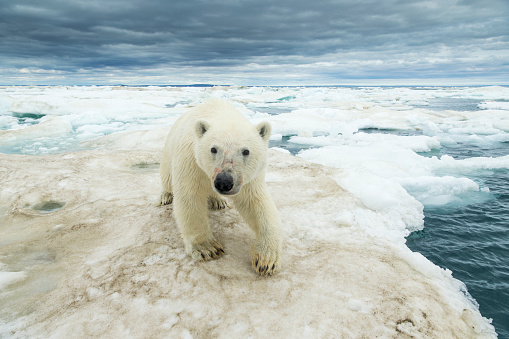 Pack Ice「Polar Bear on Hudson Bay Sea Ice, Nunavut Territory, Canada」:スマホ壁紙(13)