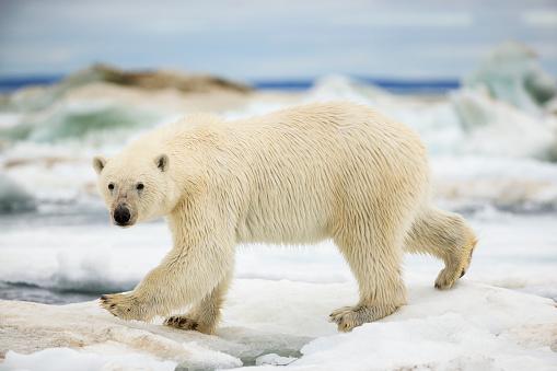 Pack Ice「Polar Bear on Hudson Bay Sea Ice, Nunavut Territory, Canada」:スマホ壁紙(13)