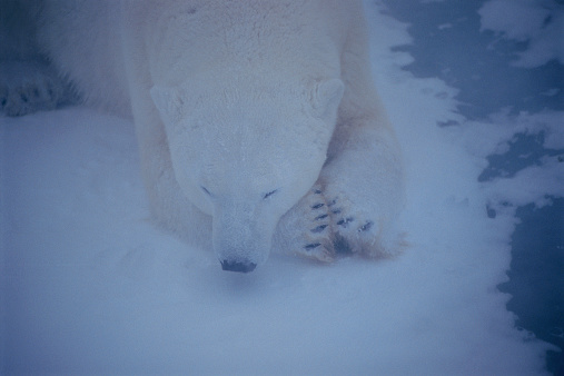 Polar Bear「Polar bear (Ursus maritimus) lying in snow during Arctic storm」:スマホ壁紙(12)