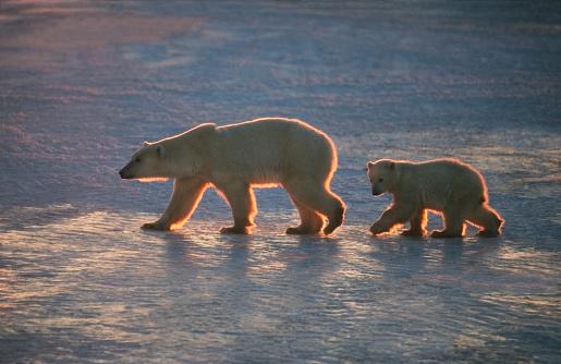 Polar Bear「Polar Bear rim-lit sow & cub.」:スマホ壁紙(19)