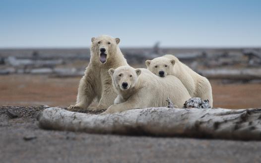 Polar Bear「Polar Bear sow and cubs lying in gravel」:スマホ壁紙(16)