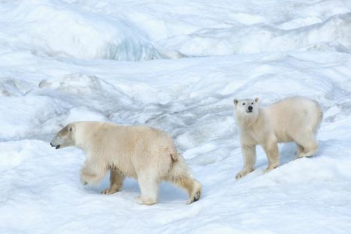 Pack Ice「Polar bear」:スマホ壁紙(7)