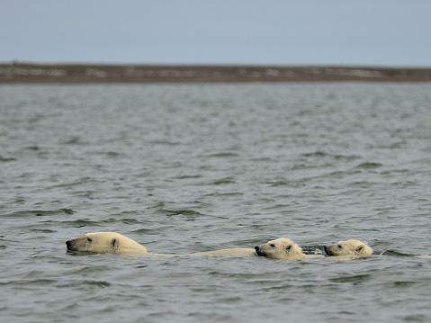 Bear Cub「Polar Bear mother & cubs swimming」:スマホ壁紙(17)