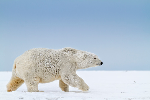 Arctic National Wildlife Refuge「Polar bear」:スマホ壁紙(15)