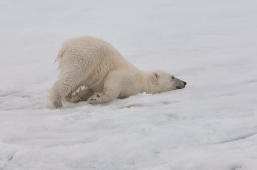 Crawling「Polar bear」:スマホ壁紙(19)