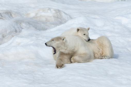 Bear Cub「Polar bear」:スマホ壁紙(14)