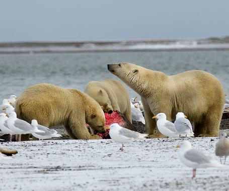 Kaktovik「Polar bear eatting whale meat」:スマホ壁紙(19)