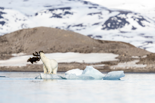 流氷「Polar bear (Ursus maritimus) playing with seaweed on pack ice, Krossfjorden, Svalbard and Jan Mayen, Norway」:スマホ壁紙(18)