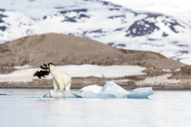Polar bear (Ursus maritimus) playing with seaweed on pack ice, Krossfjorden, Svalbard and Jan Mayen, Norway:スマホ壁紙(壁紙.com)