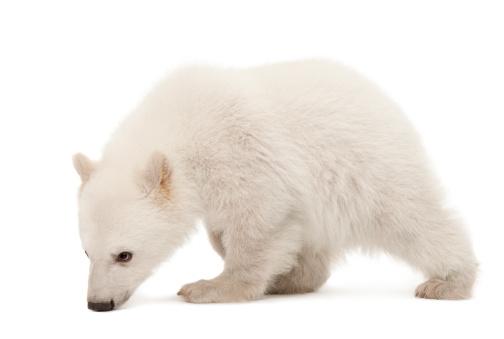 Bear Cub「Polar bear cub tracking」:スマホ壁紙(10)