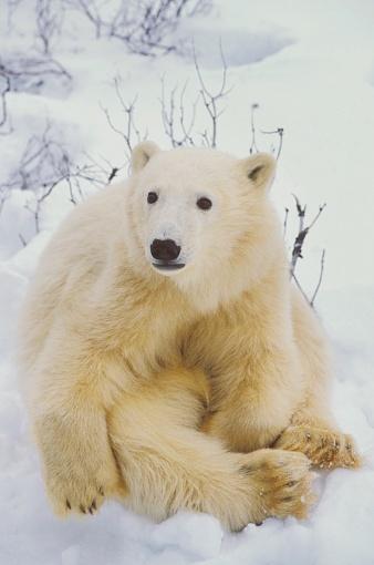Polar Bear「Polar bear cub sitting」:スマホ壁紙(10)