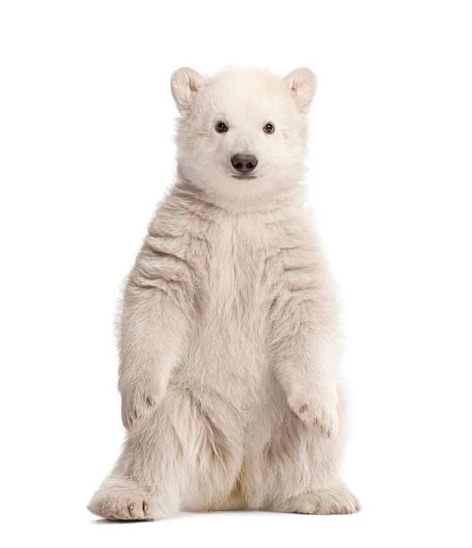 Polar bear cub sitting:スマホ壁紙(壁紙.com)