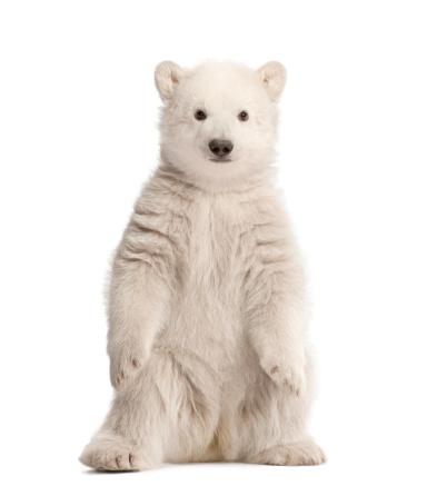 Belgium「Polar bear cub sitting」:スマホ壁紙(14)