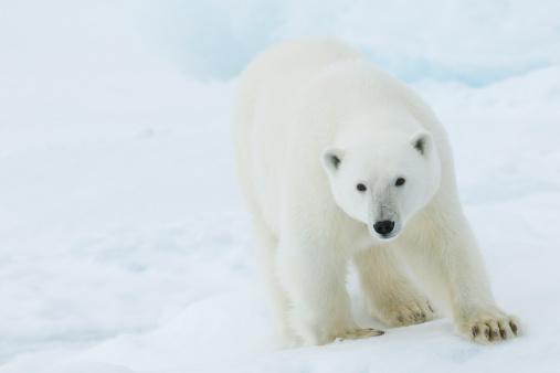 Polar Bear「Polar bear」:スマホ壁紙(3)