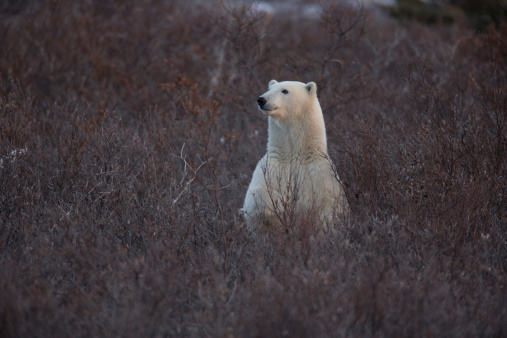 Polar Bear「Polar bear (Ursus maritimus) amongst bare vegetation, Churchill, Manitoba, Canada」:スマホ壁紙(7)
