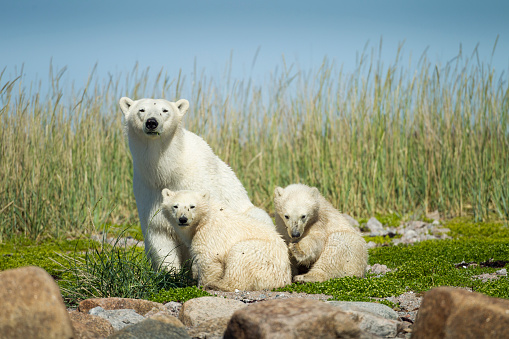 Bear Cub「Polar Bear and Cubs, Hudson Bay, Manitoba, Canada」:スマホ壁紙(14)
