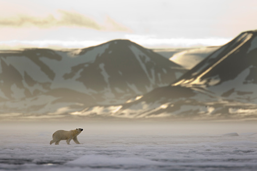 Polar Bear「Polar Bear, Svalbard, Norway」:スマホ壁紙(14)