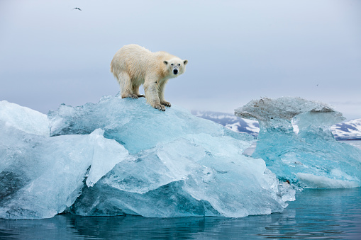Polar Bear「Polar Bear, Svalbard, Norway」:スマホ壁紙(10)