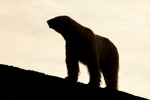 Polar Bear「Polar Bear, Svalbard, Norway」:スマホ壁紙(15)