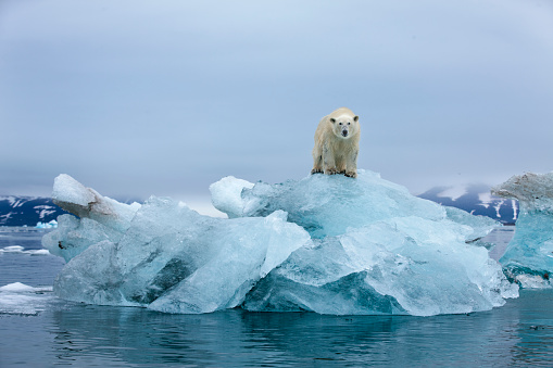 Polar Bear「Polar Bear, Svalbard, Norway」:スマホ壁紙(9)