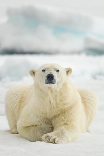 Polar Bear「Polar Bear, Svalbard, Norway」:スマホ壁紙(7)