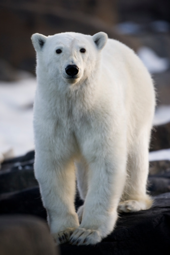 Polar Bear「Polar Bear, Svalbard, Norway」:スマホ壁紙(16)