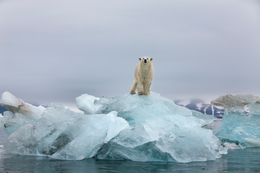 Svalbard Islands「Polar Bear, Svalbard, Norway」:スマホ壁紙(9)