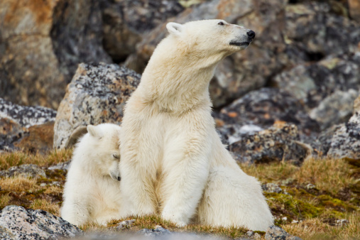 Bear Cub「Polar Bear, Svalbard, Norway」:スマホ壁紙(13)