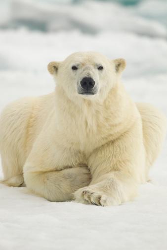 Polar Bear「Polar Bear, Svalbard, Norway」:スマホ壁紙(17)
