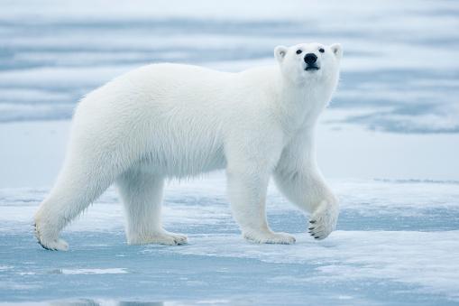Pack Ice「Polar Bear, Svalbard, Norway」:スマホ壁紙(11)