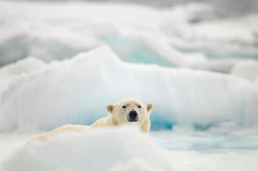 Polar Bear「Polar Bear, Svalbard, Norway」:スマホ壁紙(18)