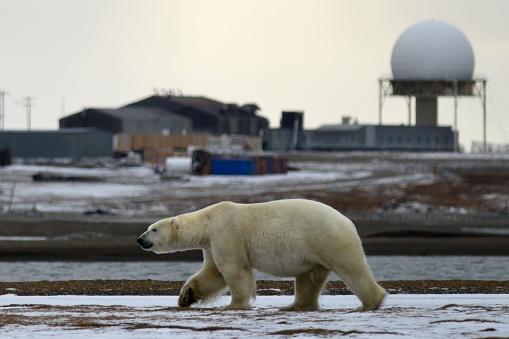 Kaktovik「Polar bear walking in front of DEW Line Station」:スマホ壁紙(7)